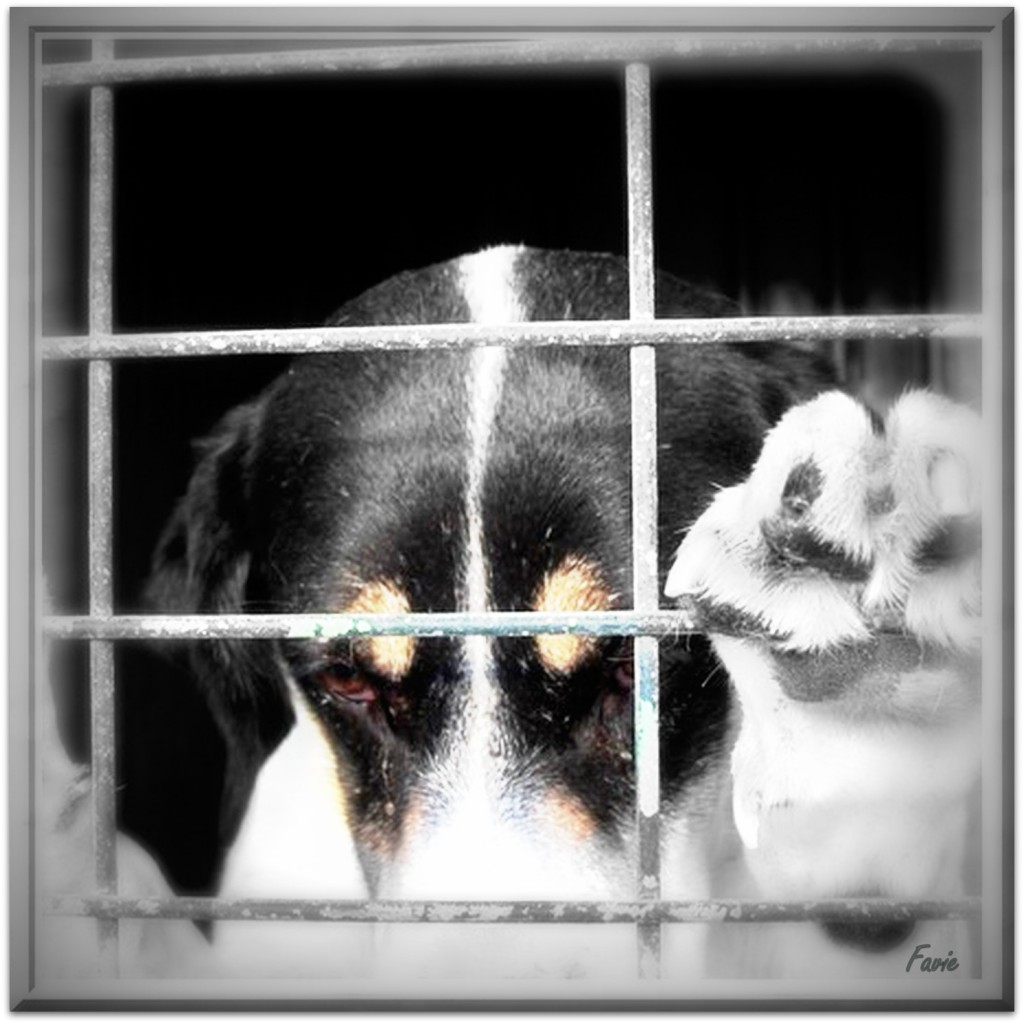 Adopter un chien : | ADOPTER UN PODENCO, C'EST LUI SAUVER LA VIE !